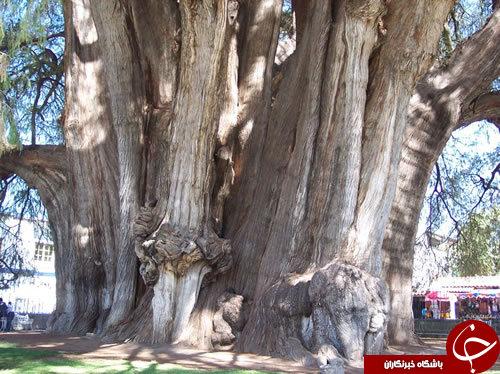 شگفت انگیزترین درختان جهان+تصاویر