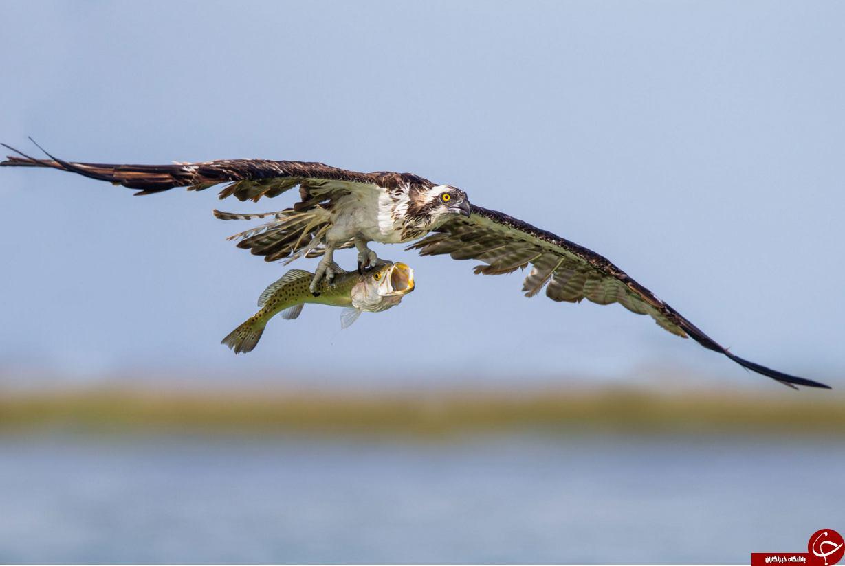 تصاویر منتخب نشنال جئوگرافی از دنیای پرندگان