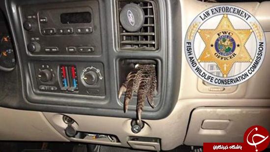 پای تمساح در داشبورد کامیون + عکس