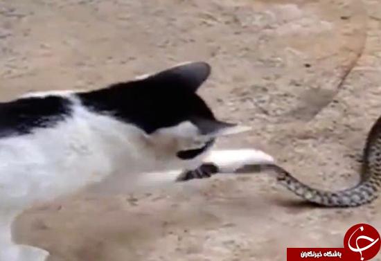 این گربه نمیتواند باور کند که چه چیزی از دهان وزغ بیرون میزند + تصاویر