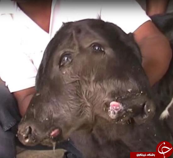 به دنیا آمدن گوسالهای با دو سر به هم چسبیده + تصاویر