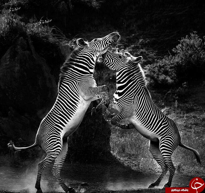 دنیای حیات وحش ازدریچه نشنال جئوگرافی+20 عکس
