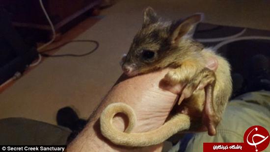 از موشهای کانگورویی چه میدانید؟ + تصاویر