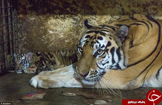 4516252 692 تصاویر شایسته ستایش از دو توله ببر بنگال