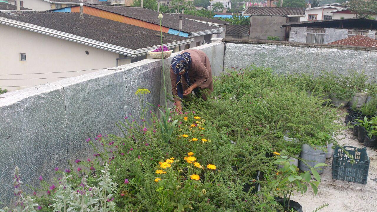 کشت گیاهان دارویی بر پشت بام خانه +تصویر