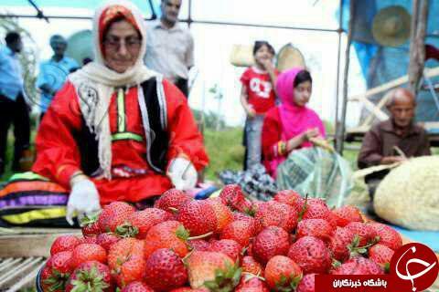 ششمین جشنواره «توت فرنگی» در صوفیانده + تصاویر