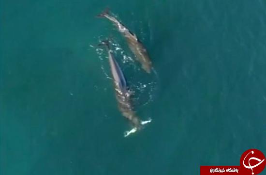 نهنگهای قاتل کوسه شکار میکنند + عکس