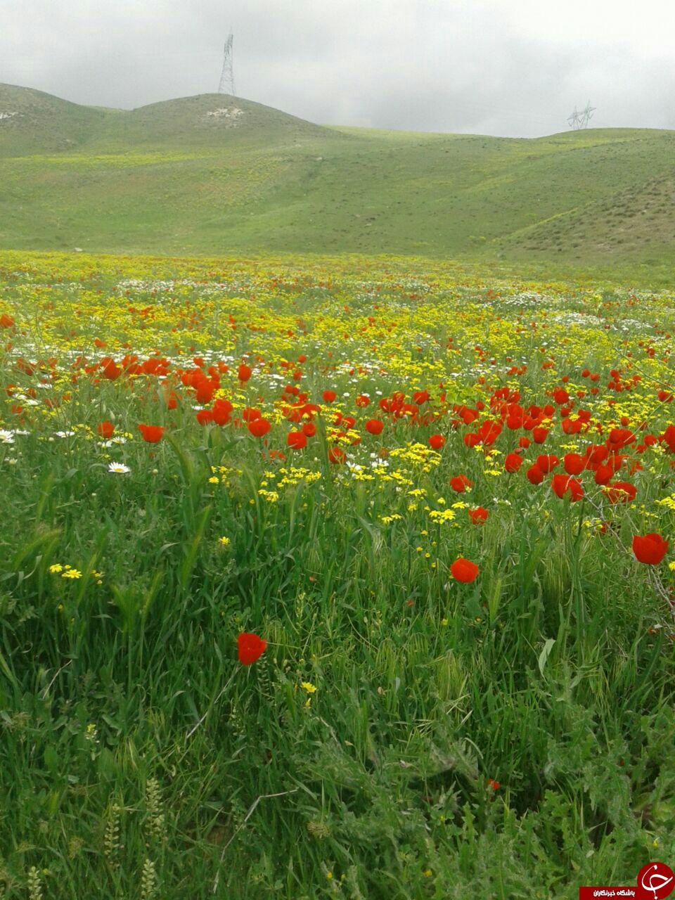 دشت گلهای رنگارنگ روستای ترناب + تصاویر