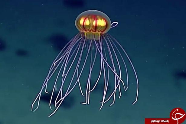 عجیب ترین جانور دریایی شبیه به بشقاب پرنده +تصاویر