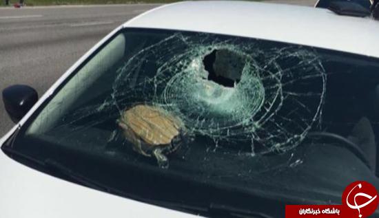 سقوط لاکپشت پرنده روی شیشه ماشین + تصاویر