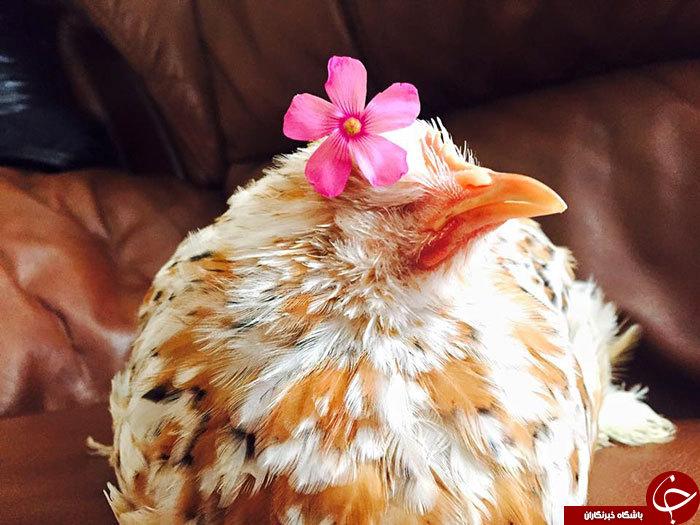 مرغ نابینا همه را شیفته خود کرد + 15 عکس