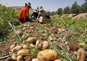 تولید بذر سیب زمینی در 35 هکتار از اراضی شهرستان نمین
