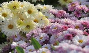 صادرات بیش از 300هزارتن گل شاخه بریده از فارس