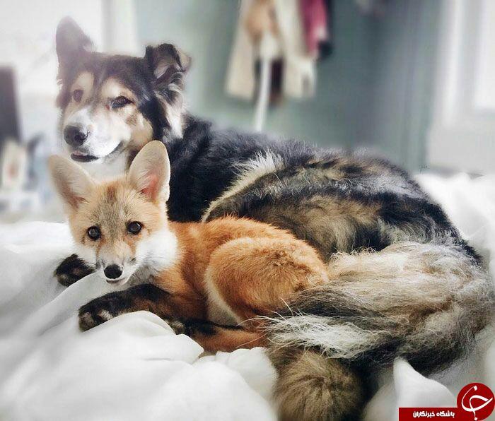 دوستی جالب ودیدنی روباه وسگ +تصاویر
