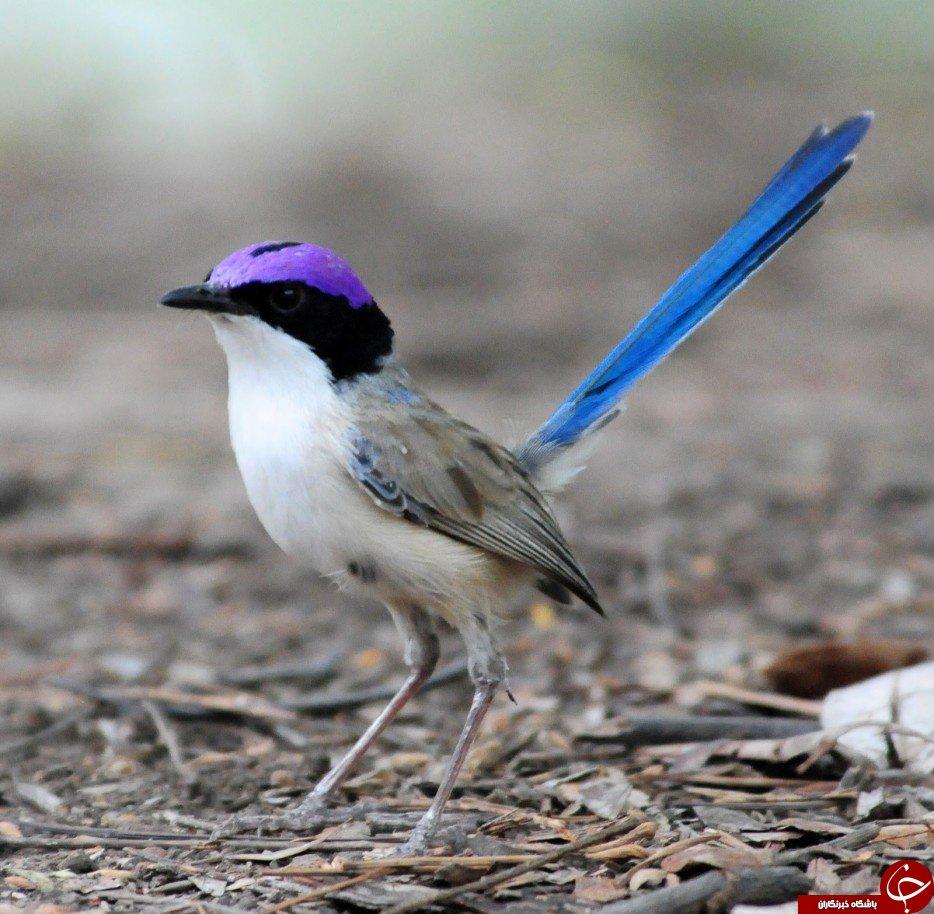زیباترین وشگفت انگیزترین پرندگان جهان+تصاویر