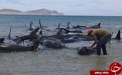 عکس/ خودکشی ۲۷ نهنگ خلبان