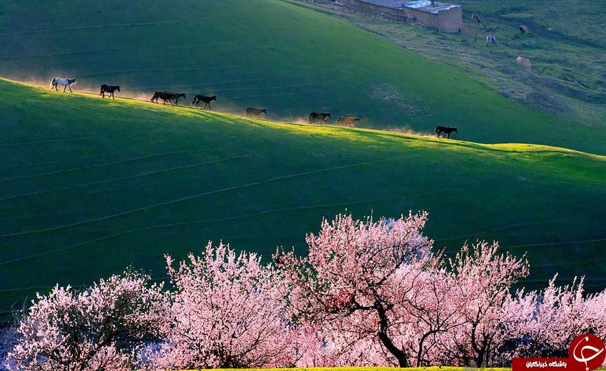 جنگل زردآلو درشمال غرب چین, جنگل زردآلو, جنگل زردلو در چین, درختان زرد آلو, جنگل زردالو, باغ زردالو