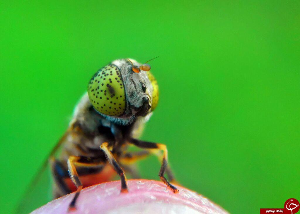 تصاویر شگفت انگیز ازحشرات درلنز دوربین نشنال جئوگرافی