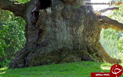 عکس/قدیمی ترین درختان دنیا