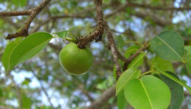 با خطرناکترین درخت دنیا آشنا شوید