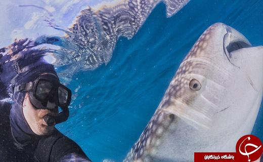 کوسه نهنگها هم میخندند + تصاویر