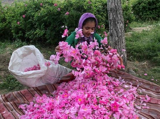 جشنواره کشوری گل محمدی لاله زار 12خرداد