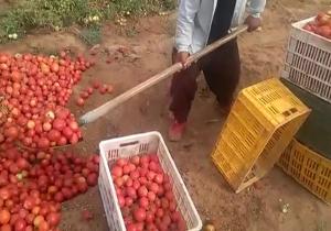 این کشاورز گوجهها را با بیل بار میزند! + فیلم