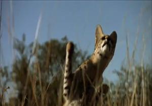 دانلود فیلم شکار پرنده توسط گربه سیاه گوش