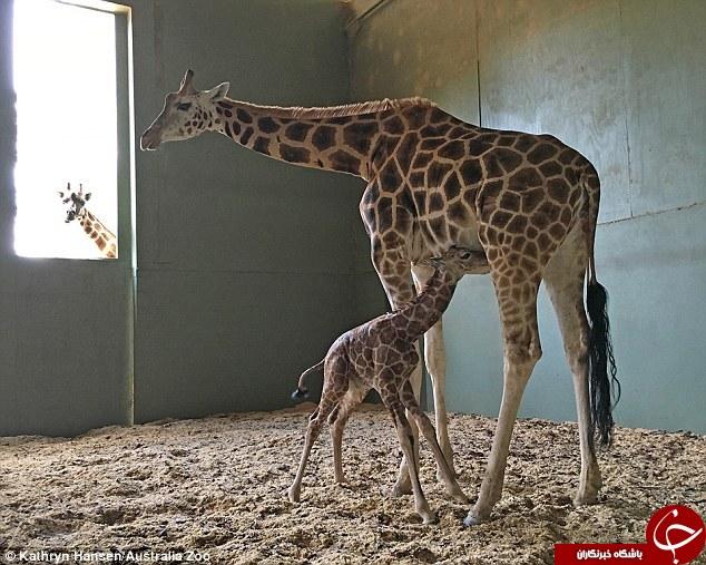 تصاویری حیرت انگیز از تولد زرافه
