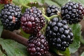 توت های سیاه بساط میوه فروش ها را رنگین کرد