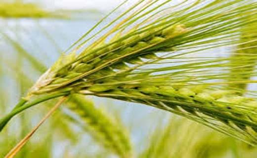خرید گندم از کشاورزان جنوب کرمان