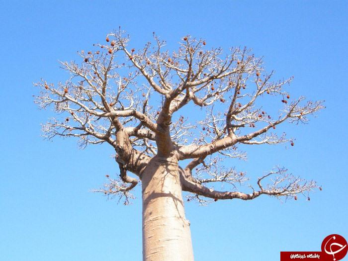 درختان بلند قامت آفریقایی،+تصاویر