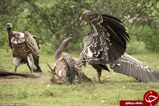 حیات وحش و تصاویر فوقالعاده زیبا از کرکسان گرسنه