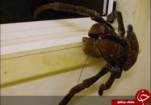 این خرچنگ میتواند یک بچه گربه را ببلعد! +تصاویر