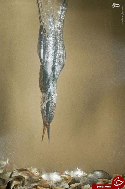 عکس/ شکار مرغ ماهی خوار