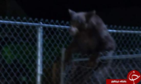 تعقیب و گریز طولانی خرس سیاه در لس آنجلس + تصاویر