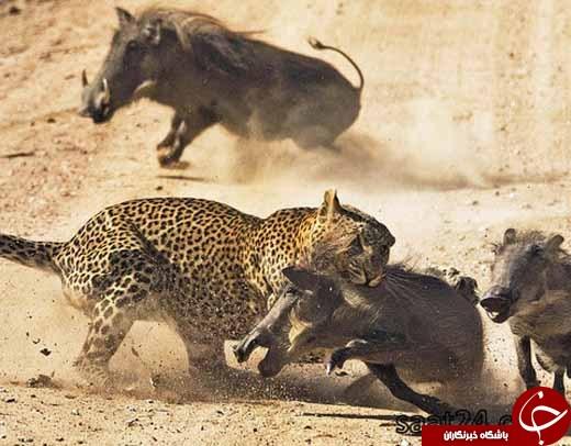 تصاویری از جنگ حیوانات /از اسب بوکسور تا خرس کشتی گیر