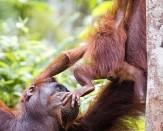 باشگاه خبرنگاران - میمون مادری که با بوسه و نوازش، بالا رفتن از درخت را به فرزندش می آموزد+ تصاویر