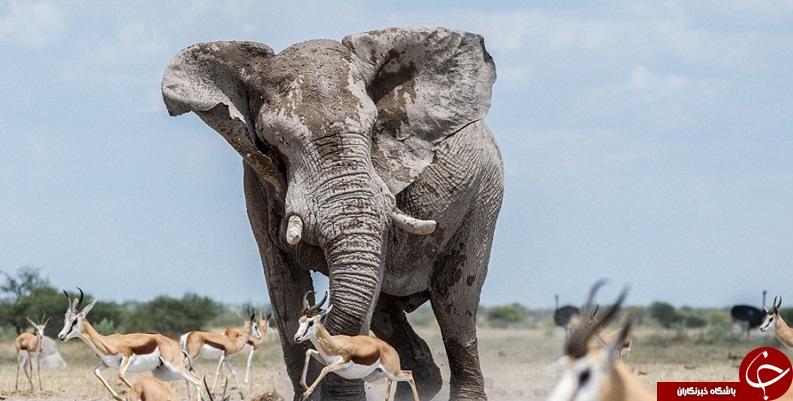 فیل خودخواه و گله آهو+تصاویر