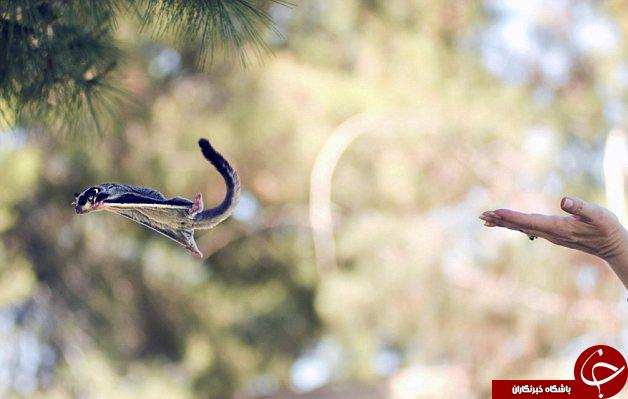 گلایدر بامزه ترین سنجاب پرنده +تصاویر