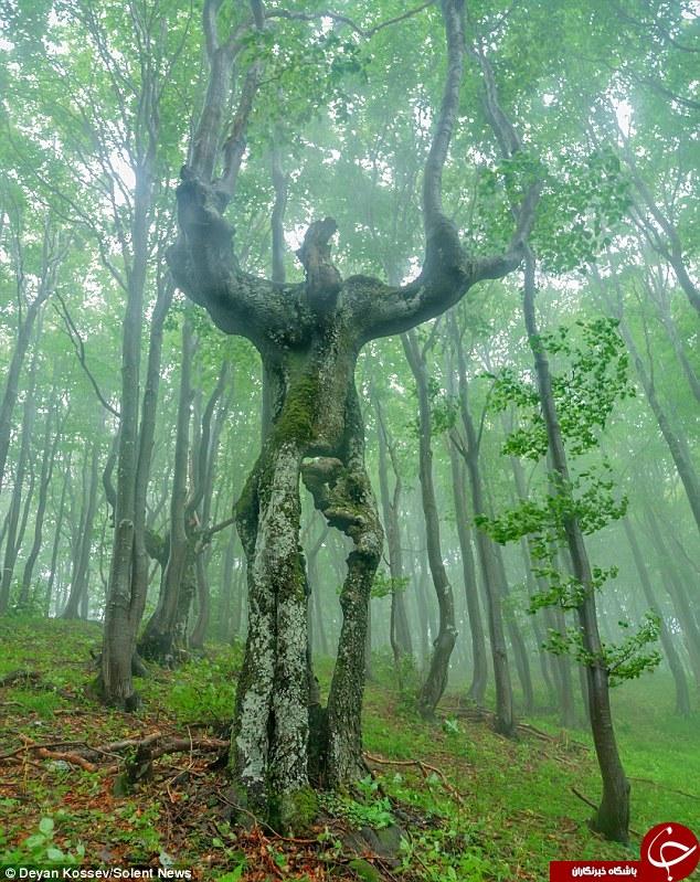 درختی که شبیه انسان است +عکس