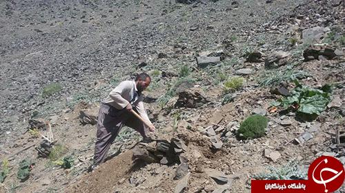 برداشت ریواس از ارتفاعات رشته کوههای بینالود در شهر خرو+ تصویر