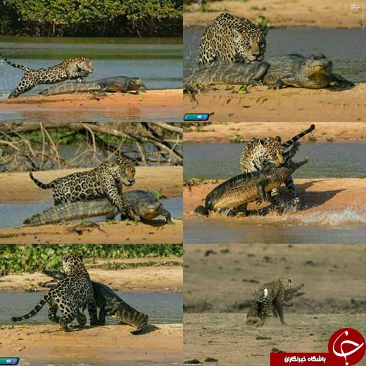 عکس/ لحظات شکار یک شکارچی!