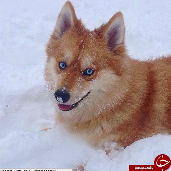 زیبا ترین سگ جهان + تصاویر