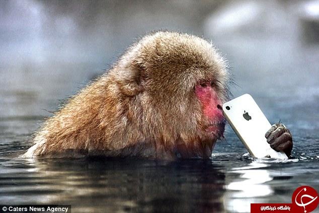 میمونی که گوشی آیفون را دزدید+تصاویر
