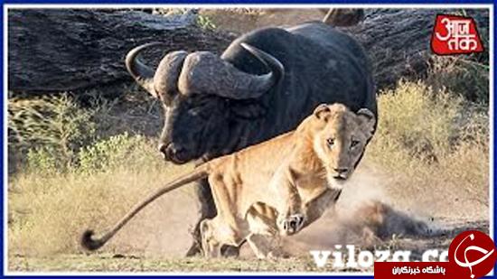 وقتی که شکار به شکارچی حمله میکند + عکس