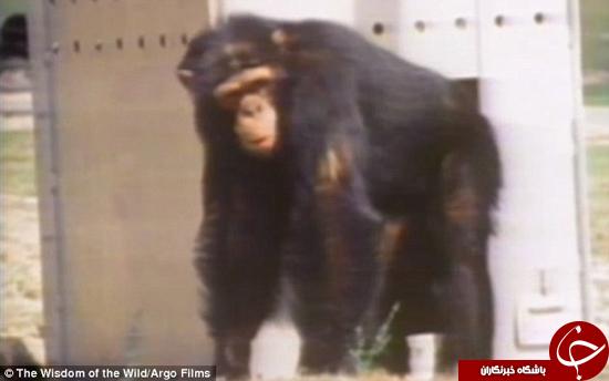 تصاویر دیدنی از احساساتی شدن شامپانزهها