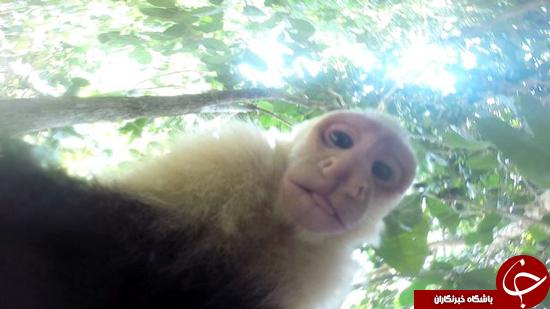 سلفیهایی از میمون بعد از دزدیدن تلفن همراه + تصاویر