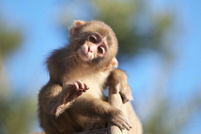 باشگاه خبرنگاران -اولین سلفی یک میمون+ عکس