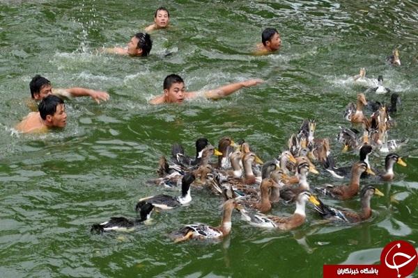 جشنواره اردک گیری در چین + فیلم و عکس